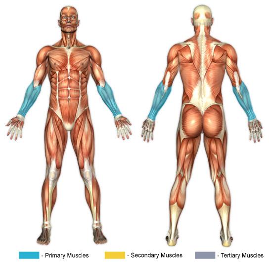Muskler i handleder och underarmar som tränas