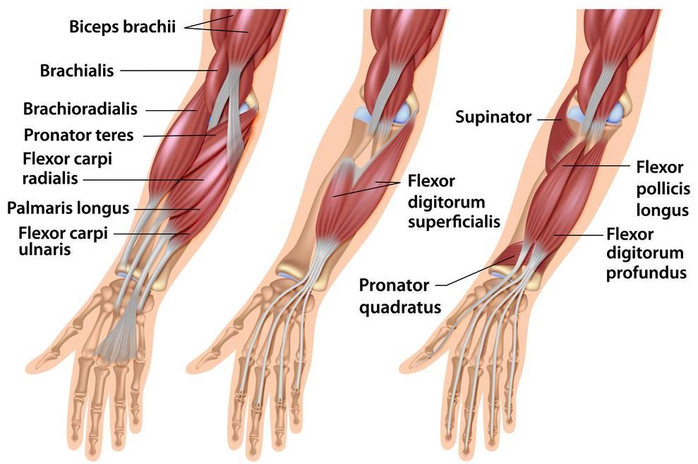 Musklerna i handleder och underarmar