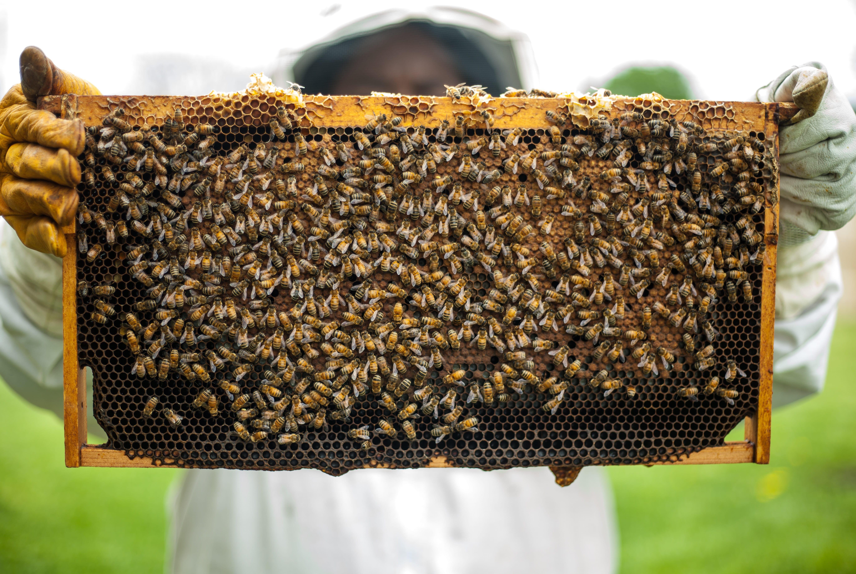 Ekologisk biodling honung