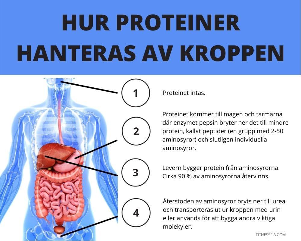 Protein tas upp av kroppen aminosyror