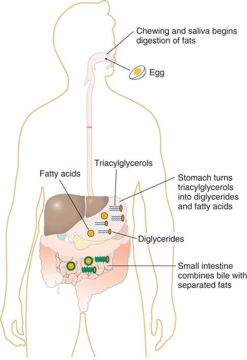 Behövs fett i mat - hur tas fett upp av kroppen