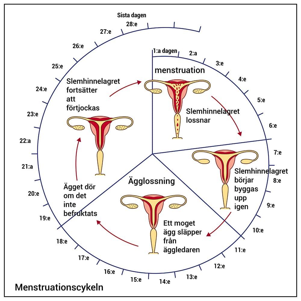 menscykel faser vad händer under mens