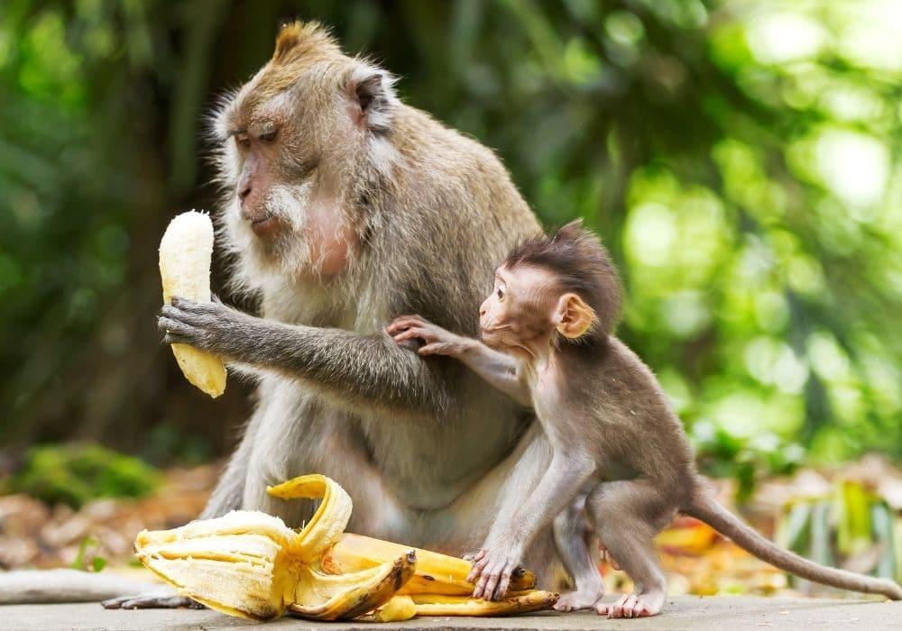 Äta banan innan träning